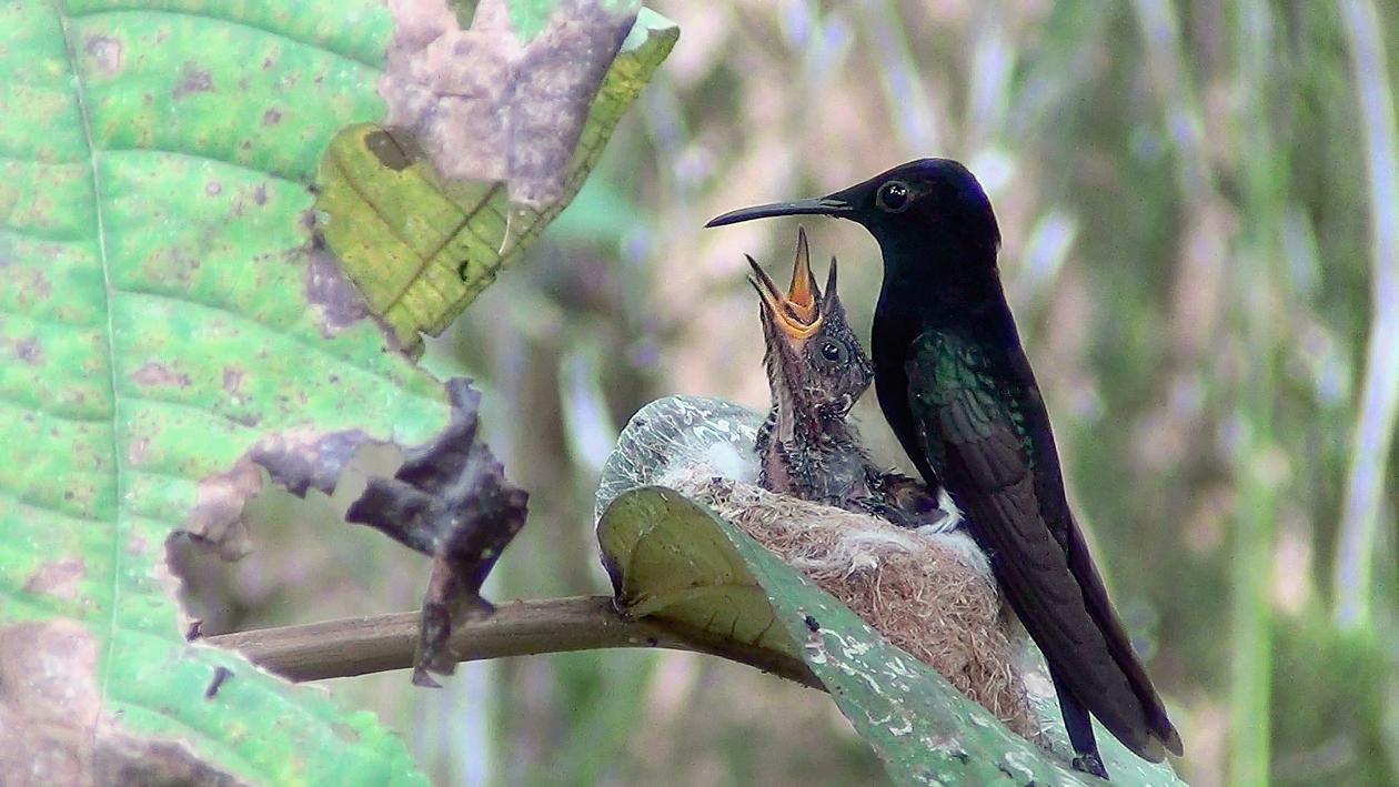Beija-flor-preto (Florisuga fusca) no ninho com filhotes