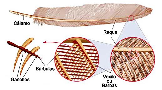 Estrutura das penas