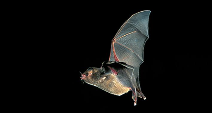 Morcego em voo - foto de Hudson Garcia