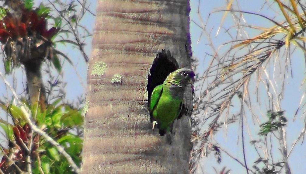 Maitaca-verde (Pionus maximiliani) - foto de Luciano Breves