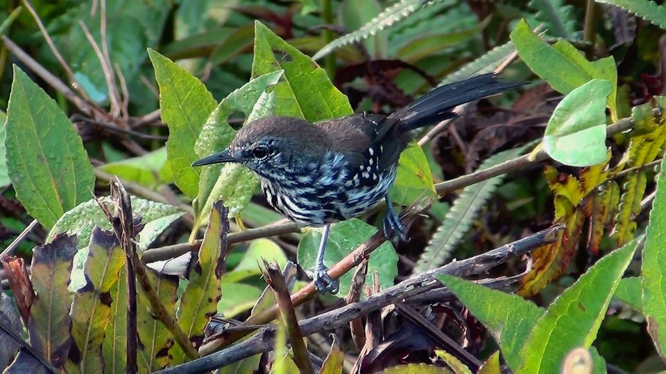 Bicudinho-do-brejo (fêmea)
