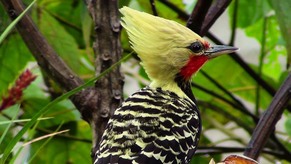 Pica-pau-de-cabeça-amarela (macho)