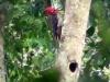 Campephilus robustus