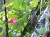Veniliornis spilogaster