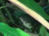 Eleoscytalopus indigoticus