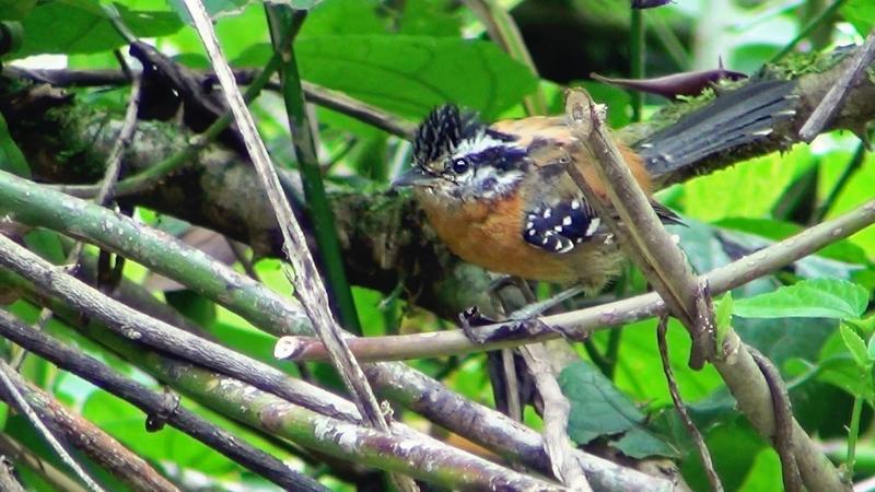 Drymophila ferruginea
