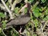 Phimosus infuscatus