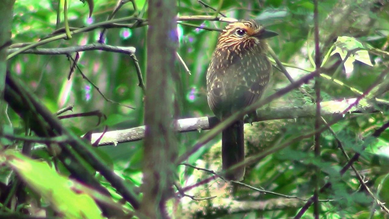 Malacoptila striata - barbudo-rajado - crescent-chested puffbird