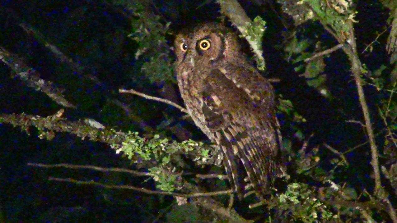 Megascops choliba - corujinha-do-mato - tropical screech-owl