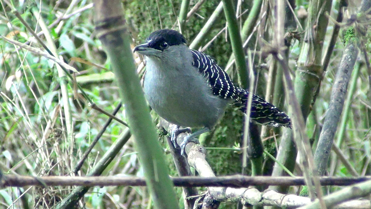 Batara cinerea - matracão - giant antshrike