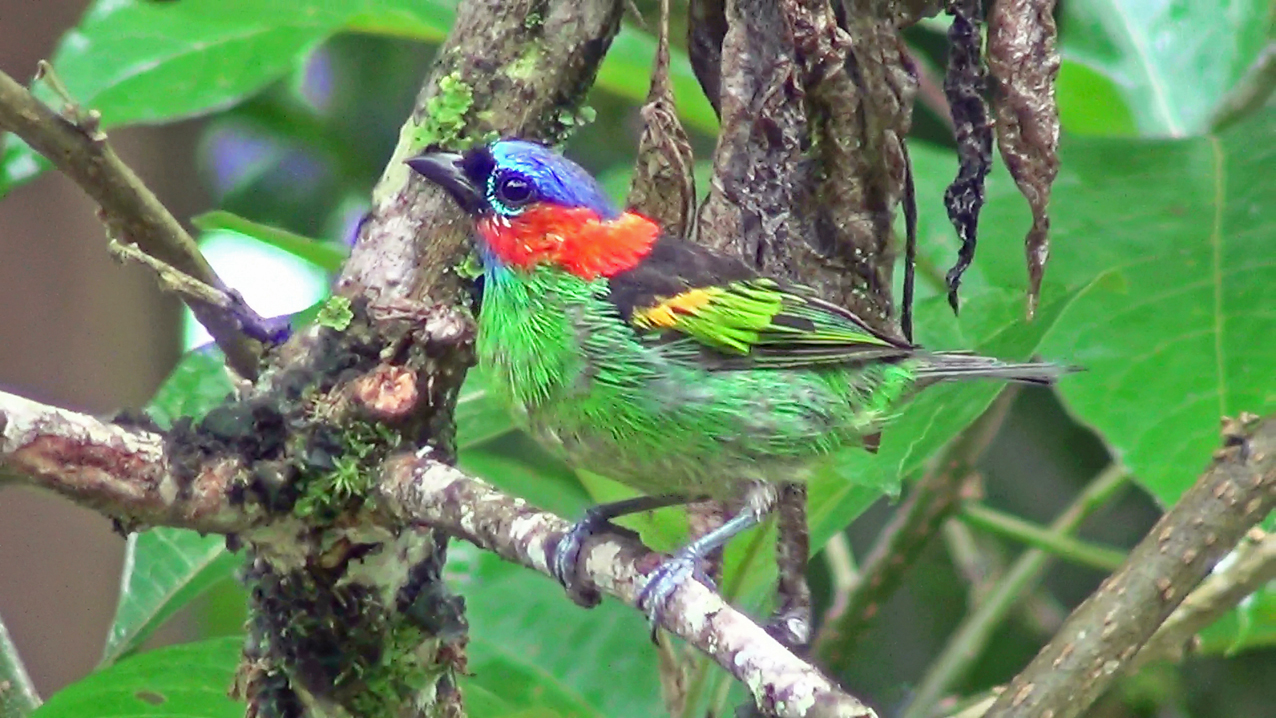 Tangara cyanocephala - saíra-militar - red-necked tanager