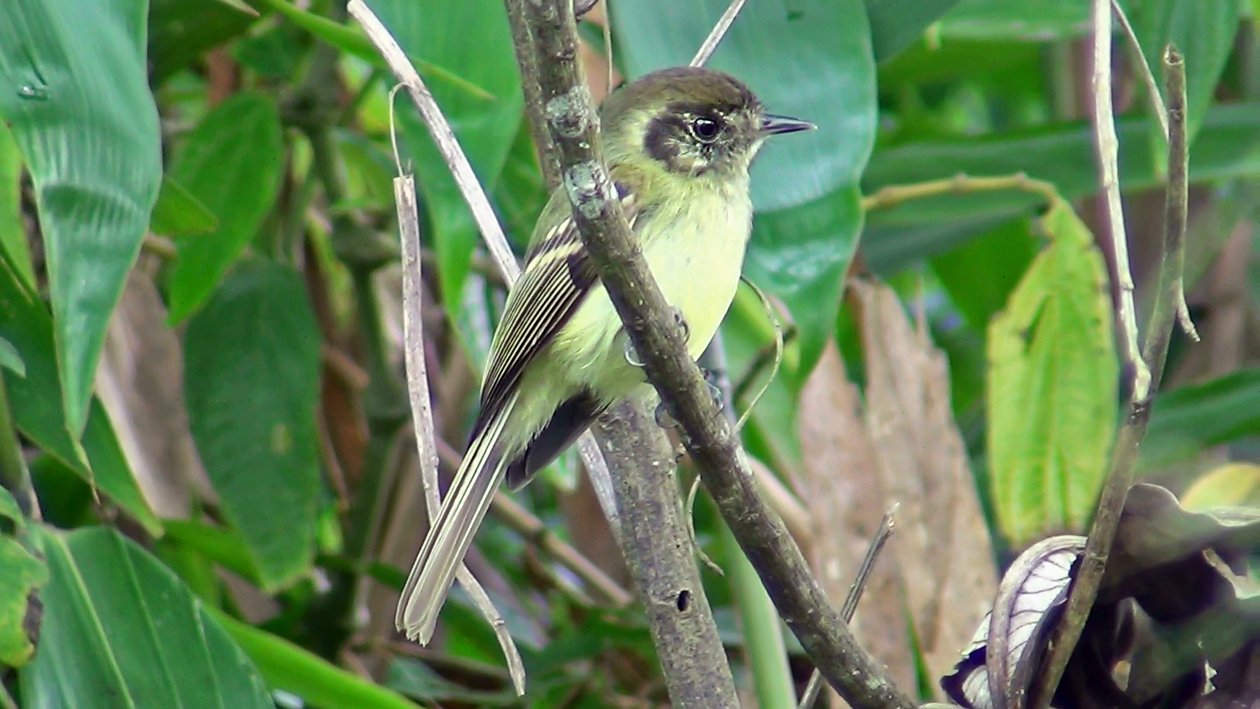 Cabeçudo (Leptopogon amaurocephalus)