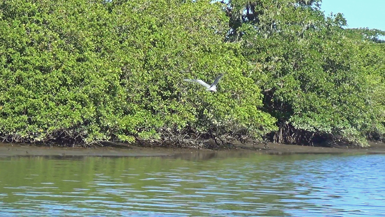 Garça-moura voando às margens do manguezal