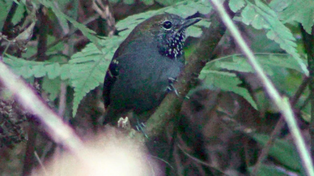 Myrmotherula gularis - Choquinha-de-garganta-pintada