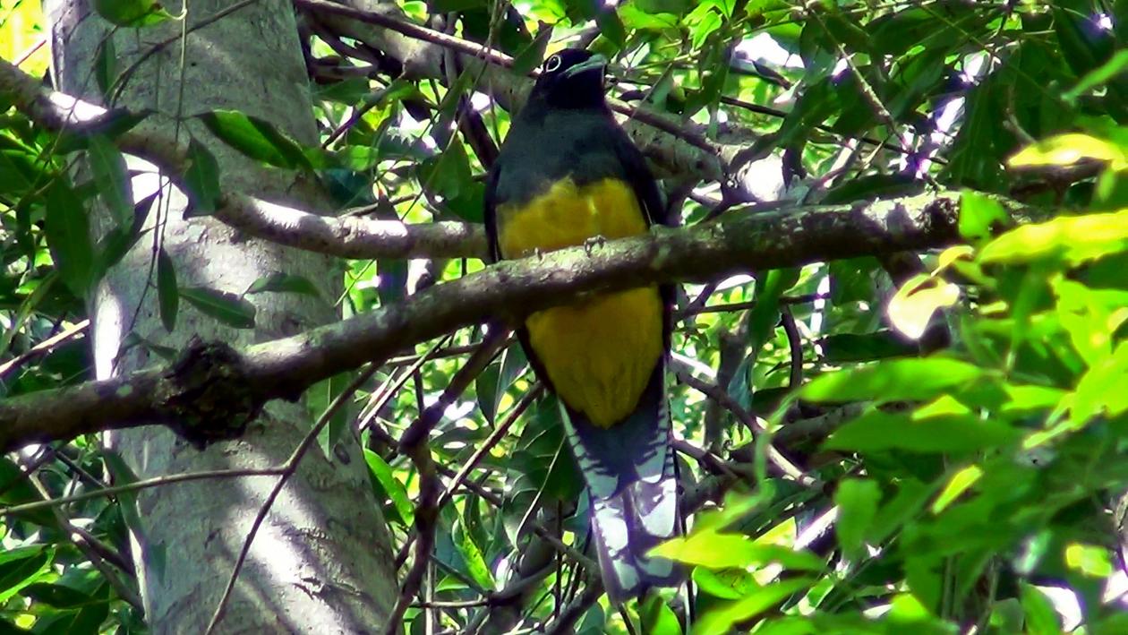 Trogon viridis - Surucuá-grande-de-barriga-amarela (fêmea)