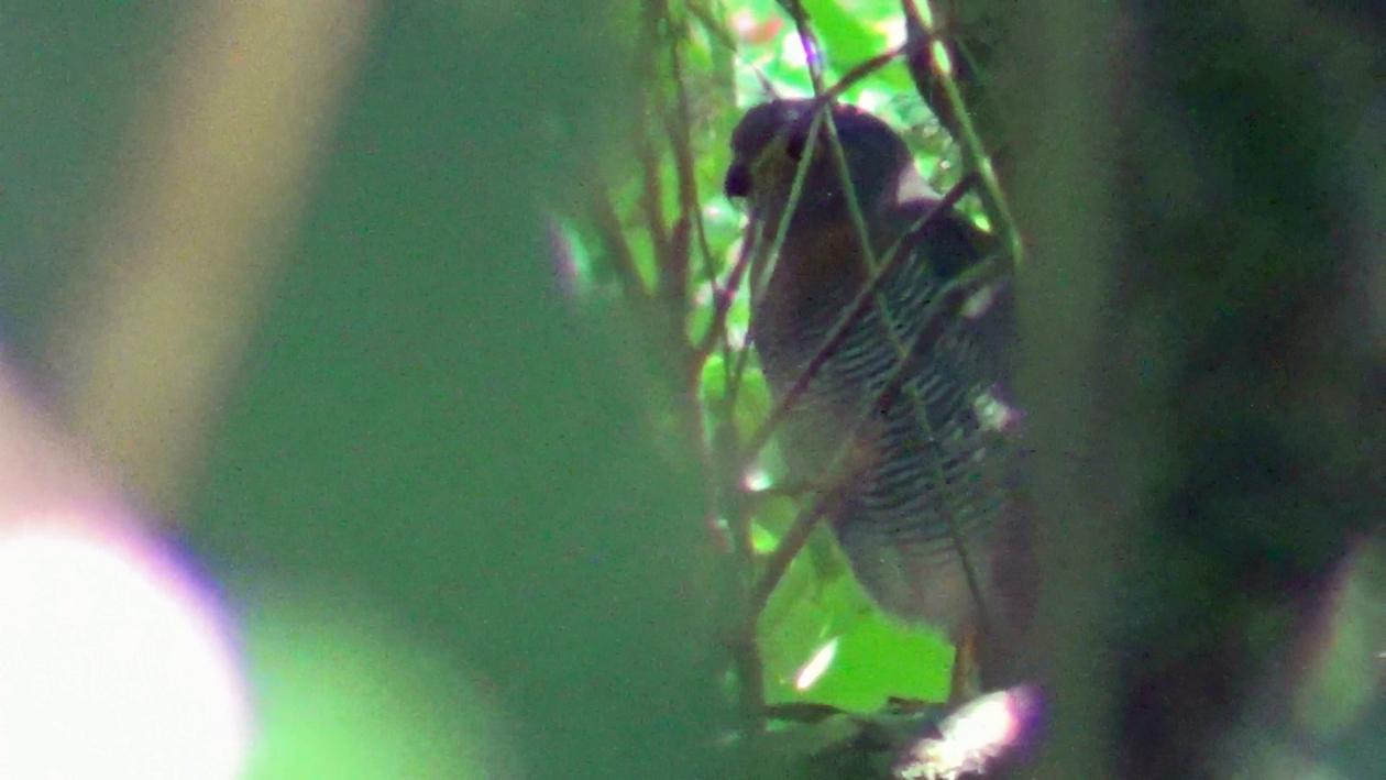 Micrastur ruficollis - Falcão-caburé