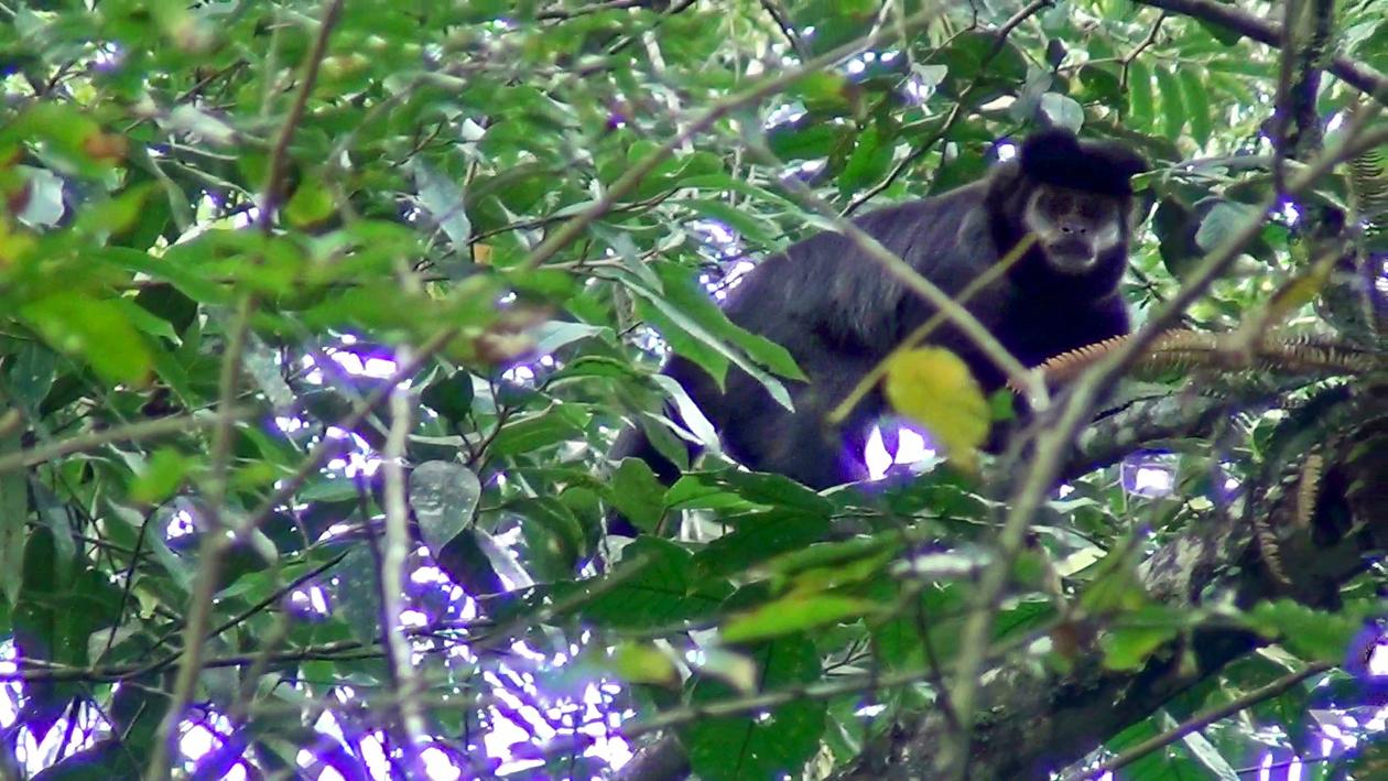 Sapajus nigritus - Macaco-prego
