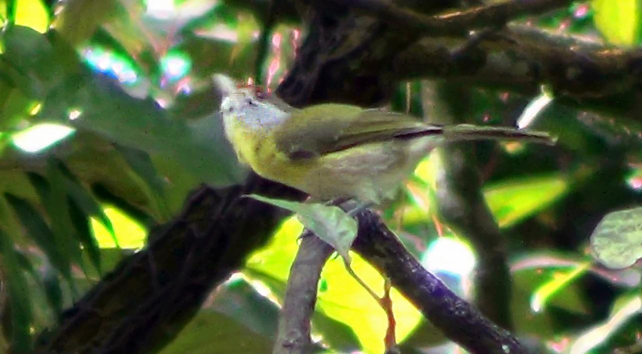 Cyclarhis gujanensis - Pitiguari