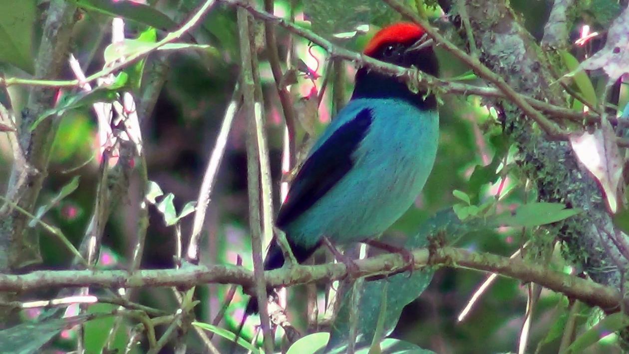 Chiroxiphia caudata - Tangará (macho)