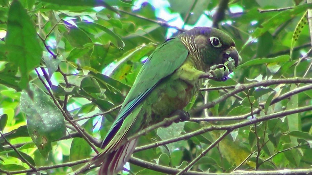 Tiriba-de-testa-vermelha (Pyrrhura frontalis)