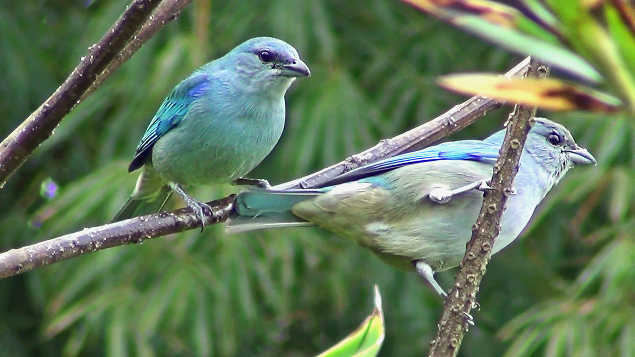 Sanhaçu-de-encontro-azul (Tangara cyanoptera)