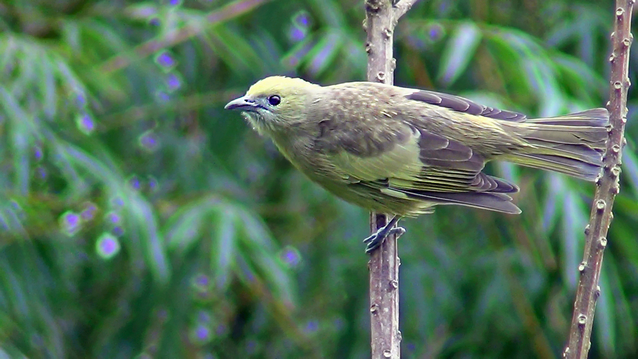 Sanhaçu-do-coqueiro (Tangara palmarum)