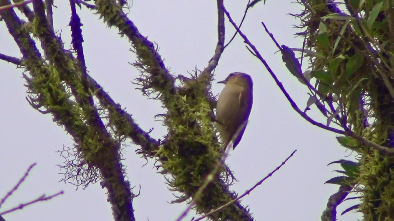 Arredio-pálido (Cranioleuca pallida)