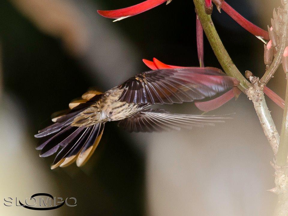 Beija-flor-rajado - Ramphodon naevius - Foto de Osmar Slompo