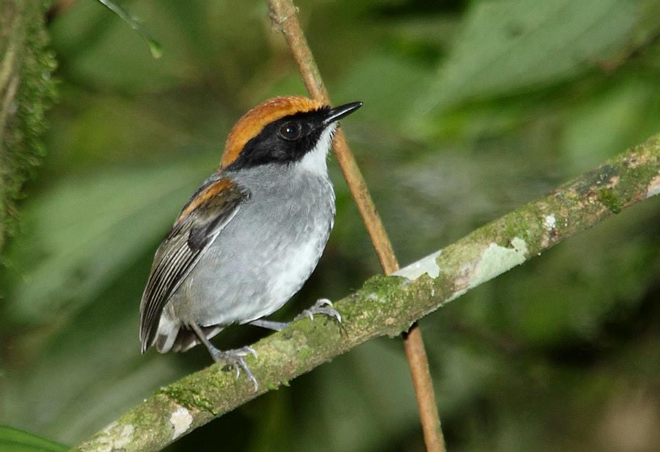 Cuspidor-de-máscara-preta - Conopophaga melanops (macho) - Foto de Tarcísio Pavanelli