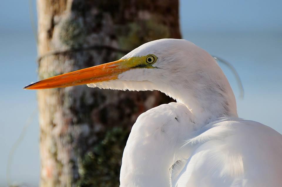 Garça-branca-grande - Ardea alba - Foto de Pedro C. Silva