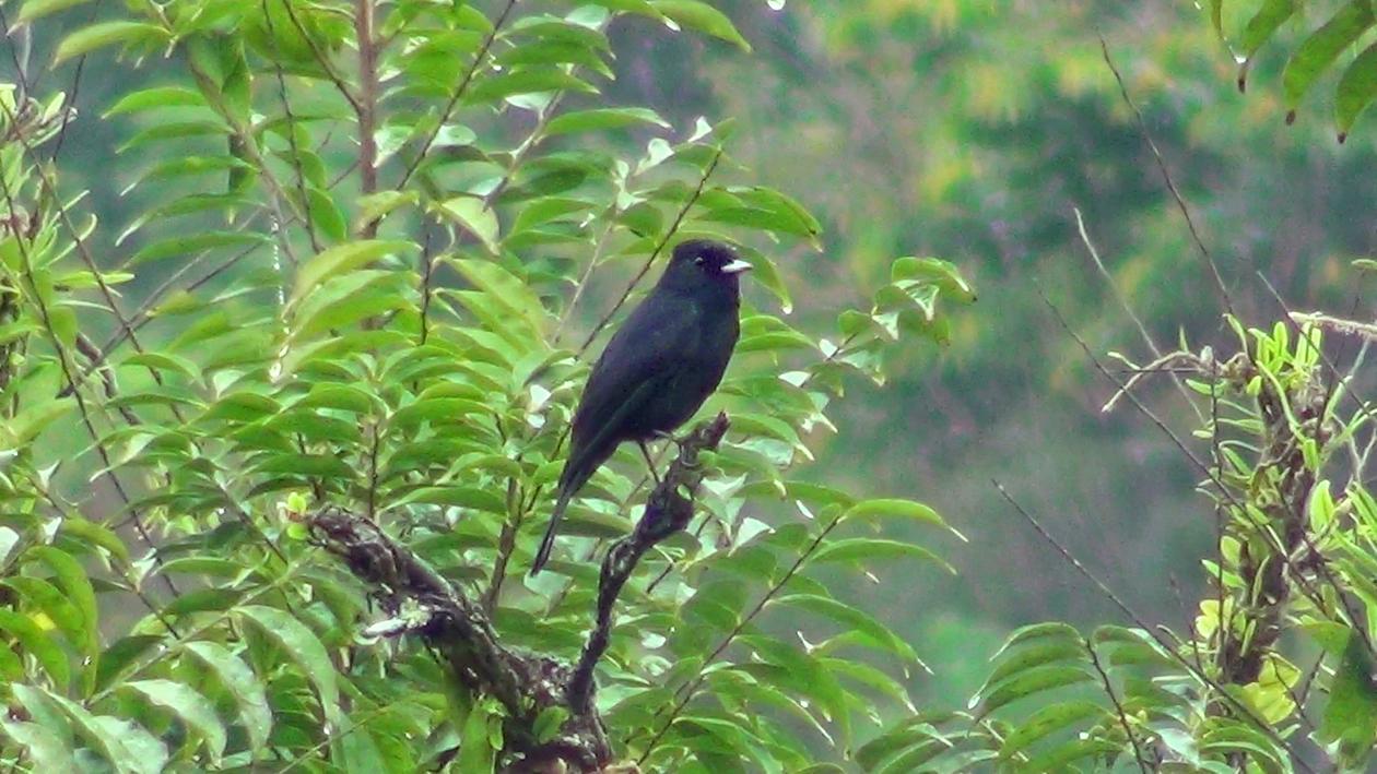 Maria-preta-de-garganta-vermelha (Knipolegus nigerrimus)