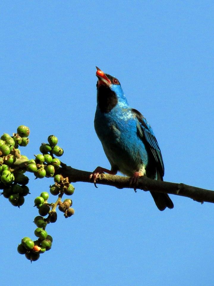 Saí-azul - Dacnis cayana (macho) - Foto de Elizeu Czekalski