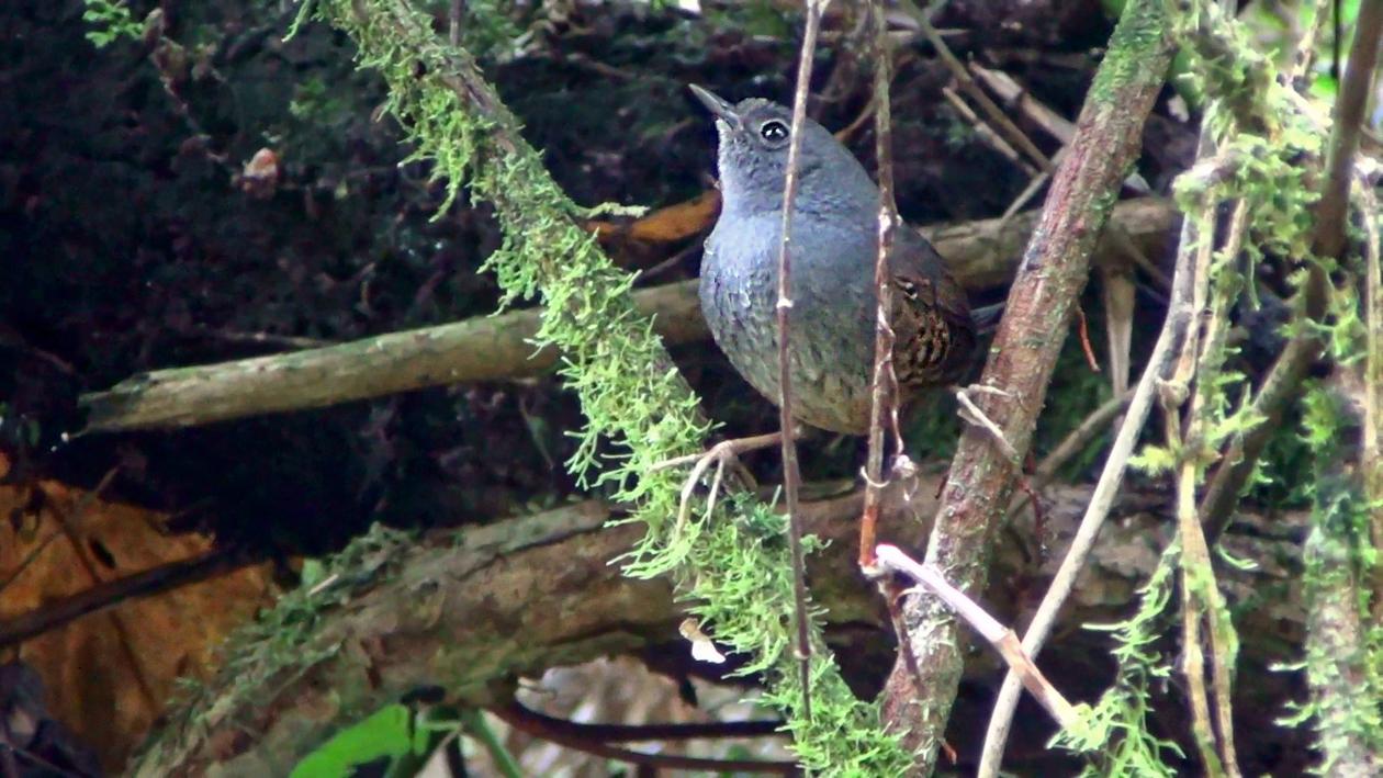 Tapaculo-preto (Scytalopus speluncae)