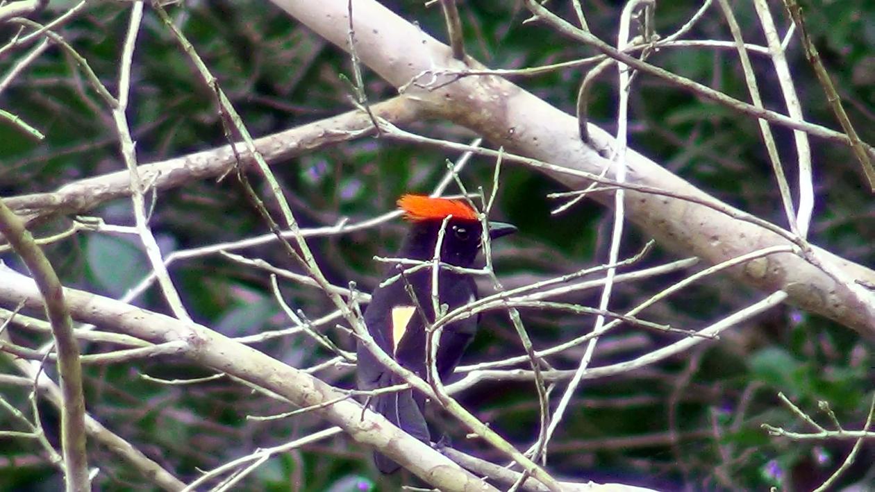 Tiê-galo - Lanio cristatus (macho) - Foto de Luciano Breves