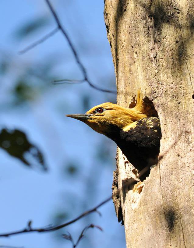 Pica-pau-de-cabeça-amarela (Celeus flavescens) - Foto de Luciana Chiyo