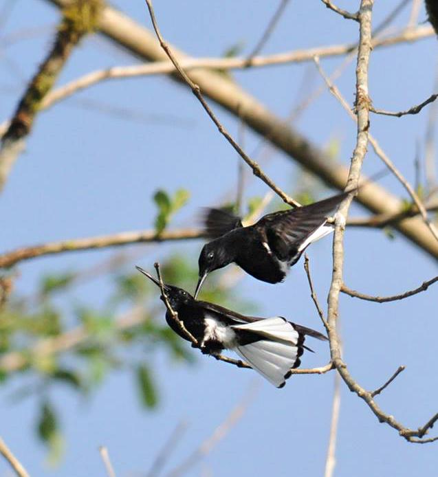 Beija-flor-preto (Florisuga fusca) - Foto de Luciana Chiyo