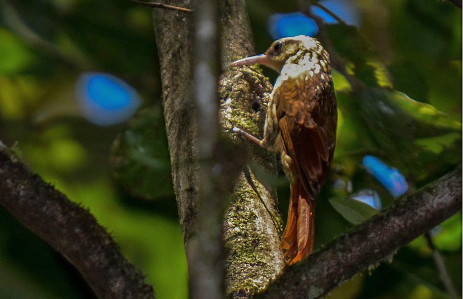 Arapaçu-rajado (Xiphorhynchus fuscus) - Foto de Saulo Gomes