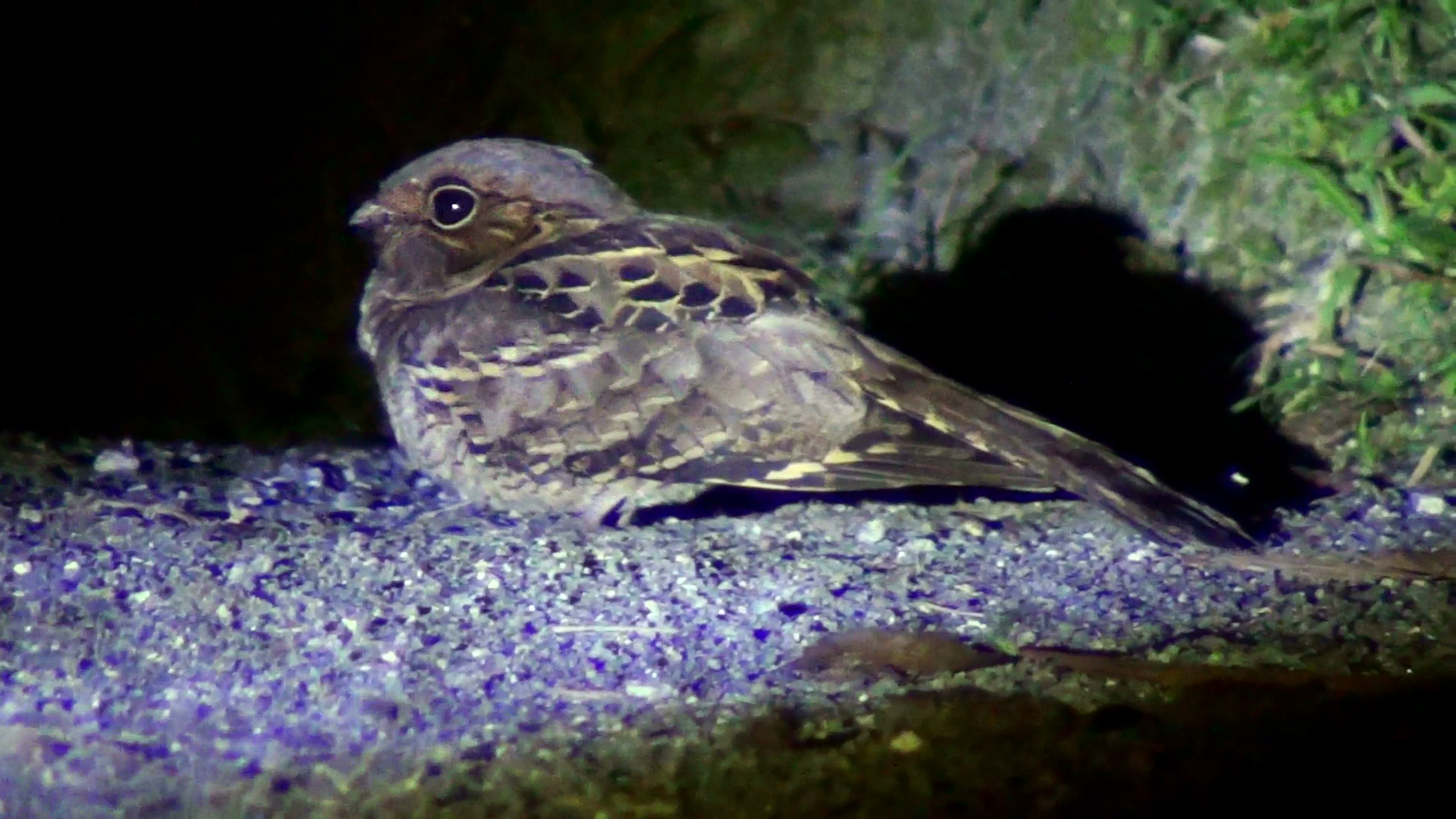 Bacurau (Hydropsalis albicollis) - Foto de Luciano Breves