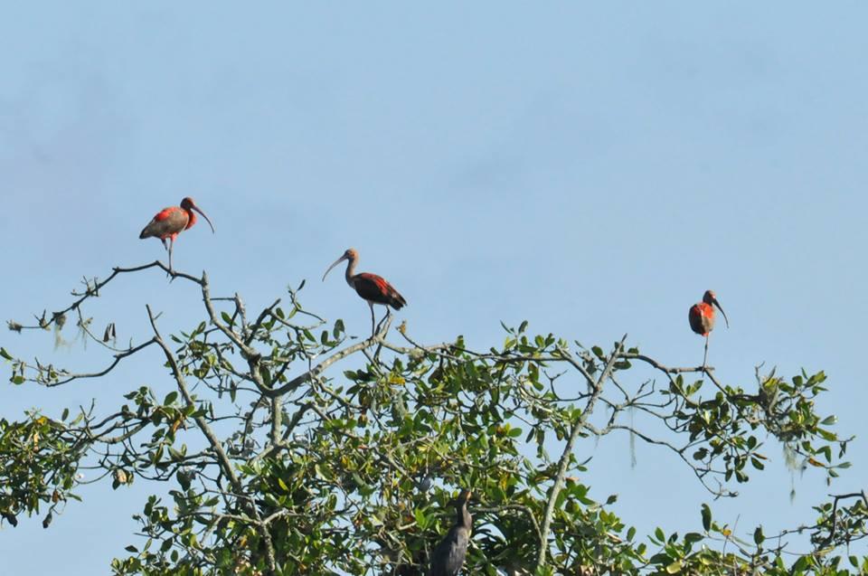 Guarás (Eudocimus ruber) - Foto de Luciana Chiyo