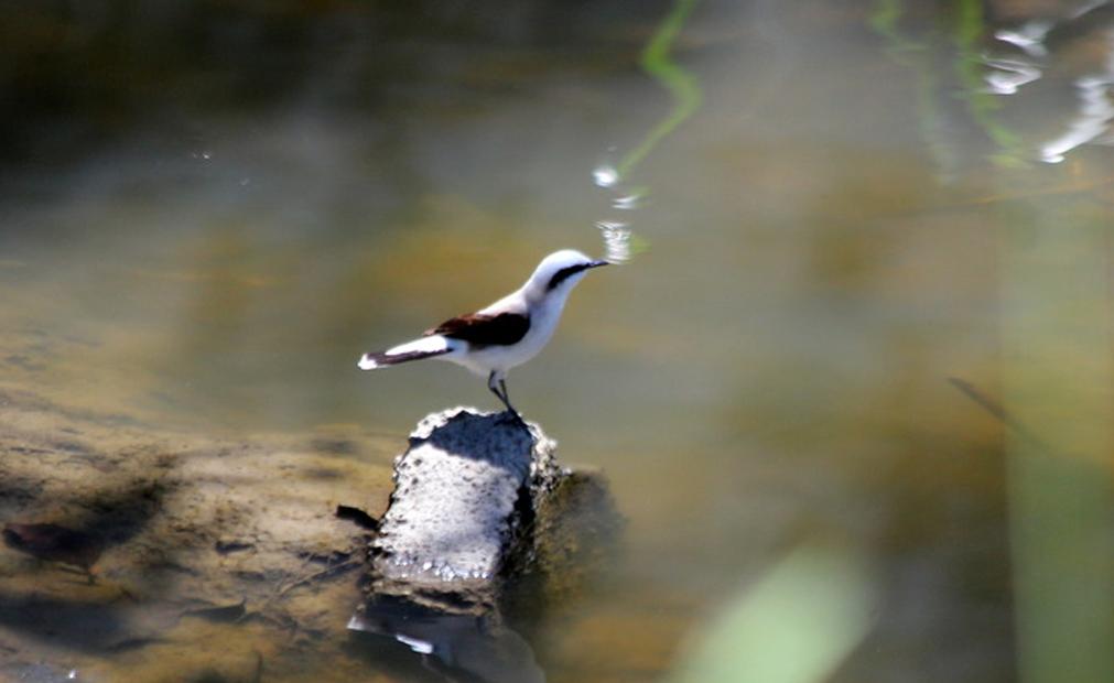 Lavadeira-mascarada (Fluvicola nengeta) - Foto de João Dittmar