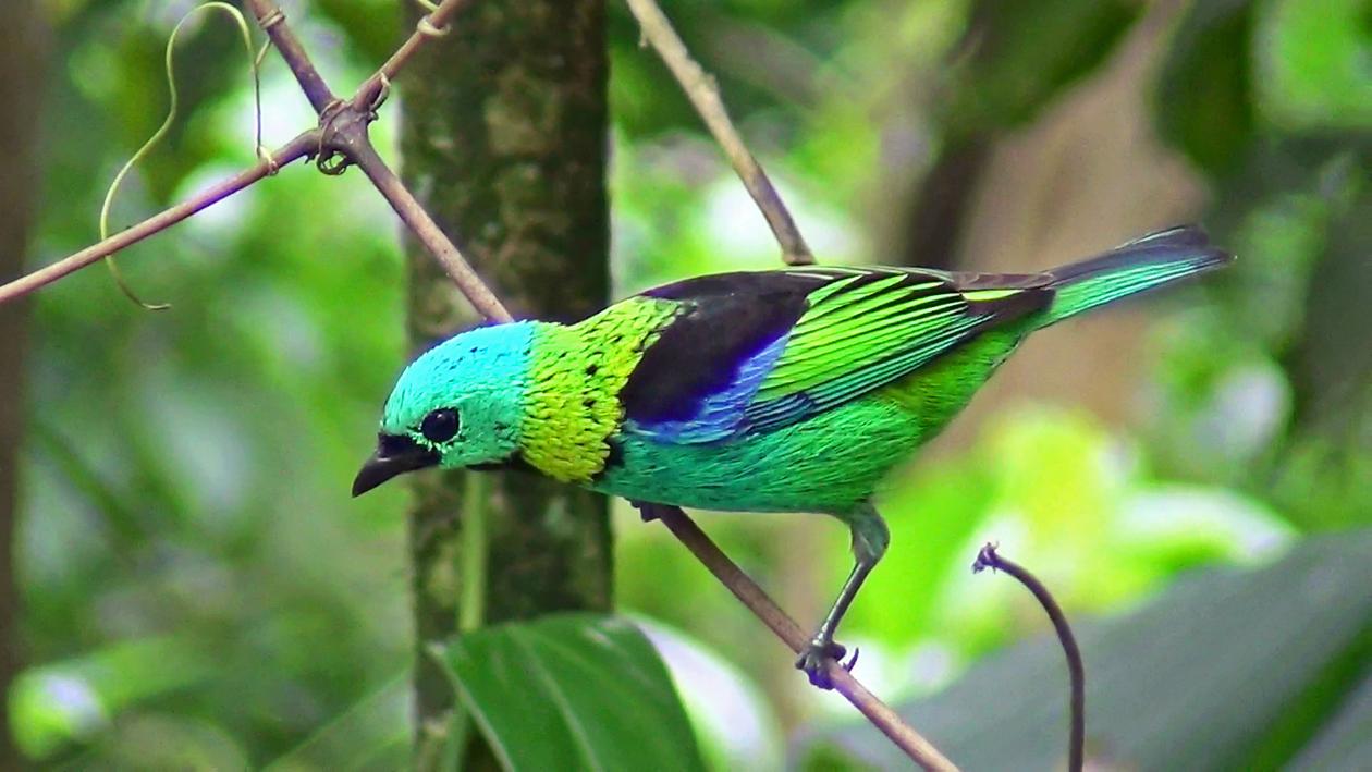 Saíras-sete-cores (Tangara seledon) - Foto de Luciano Breves