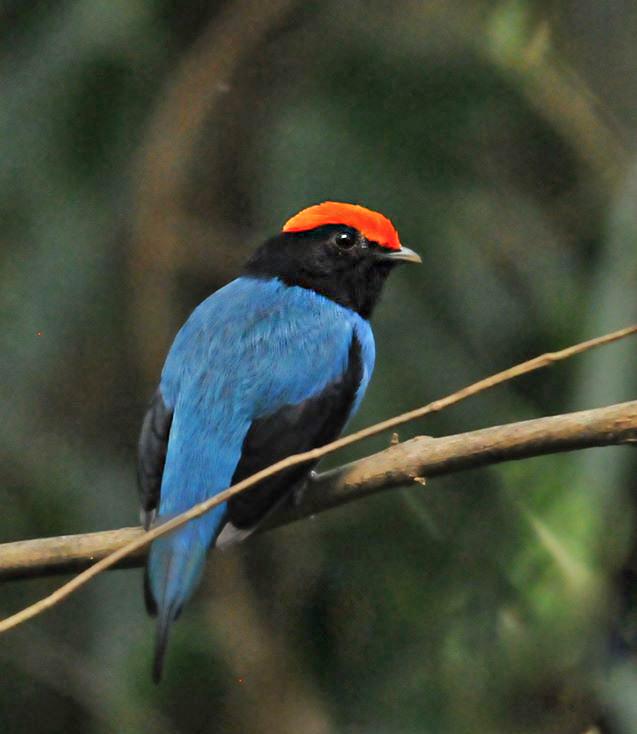 Tangará macho (Chiroxiphia caudata) - Foto de Luciana Chiyo