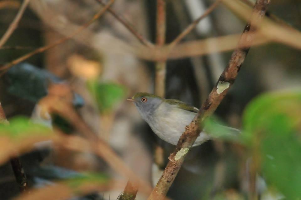 Tangarazinho fêmea (Ilicura militaris) - Foto de Luciana Chiyo