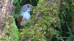 Rufous-backed Antvireo
