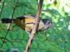 Thamnophilus caerulescens