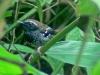 Myrmeciza squamosa