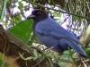 Cyanocorax caeruleus