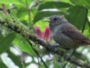 Choquinha-cinzenta (fêmea)