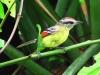 Chorozinho-de-asa-vermelha (fêmea)