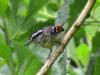 Chorozinho-de-asa-vermelha (macho)